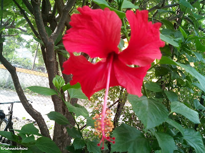 Image: Red Hibiscus Flower (Red Jaswand Flower)