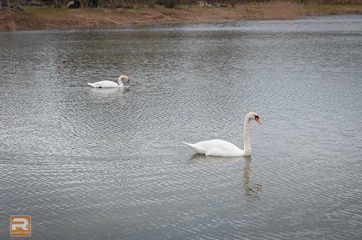 Divi gulbji uz ezera