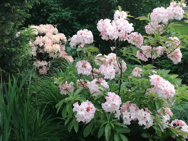 rhododendron Jack A. Sand i różanecznik Percy Wiseman