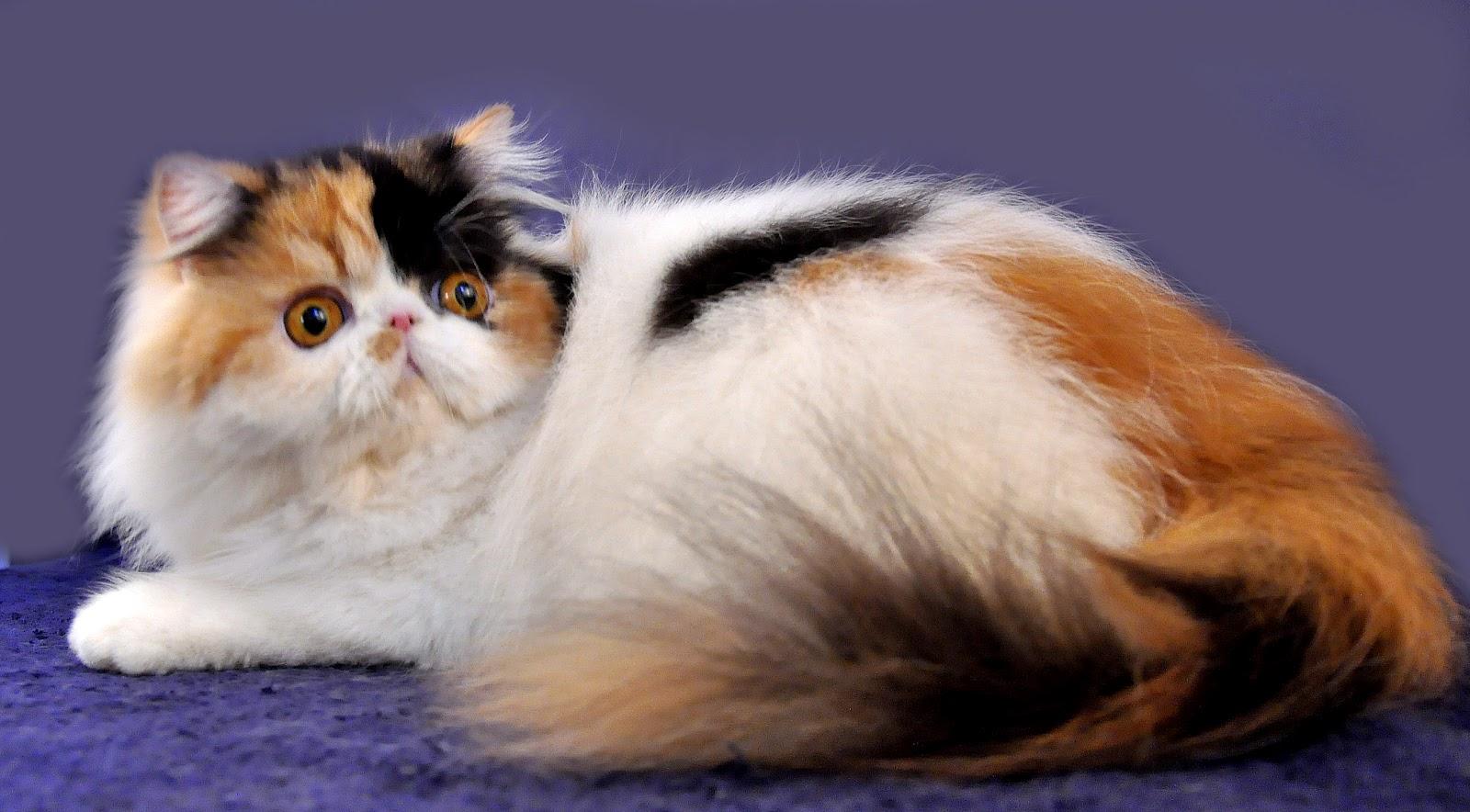 Perangai Karakter Kucing Persia Kucingadopsikucom