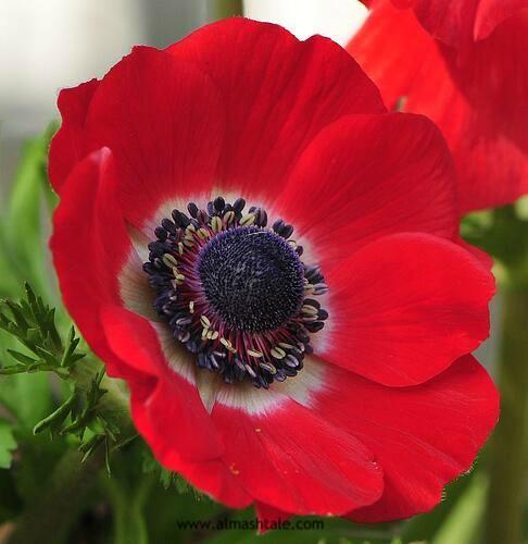 زهور شقائق النعمان الحمراء