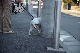 cão usando poste