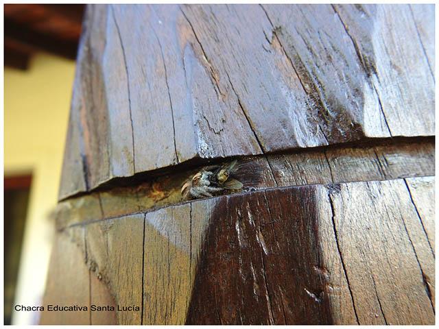 Araña cazando mosca-Chacra Educativa Santa Lucía