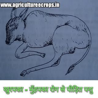 पशुओं में होने वाला खुरपका - मुँहपका रोग ( foot and mouth disease in hindi )