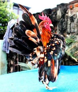 ayam serama dan ayam kate