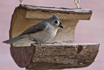 Photo of Tufted Titmouse in log feeder
