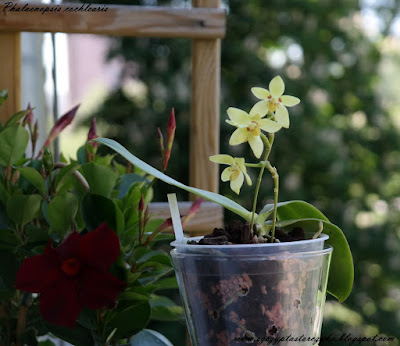 Grow and care Phalaenopsis cochlearis orchid - Spoon-like Phalaenopsis