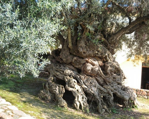 Olive tree of Vouves, Crete One of the oldest trees in the world Thought to be between 3000, and 5000 years old!