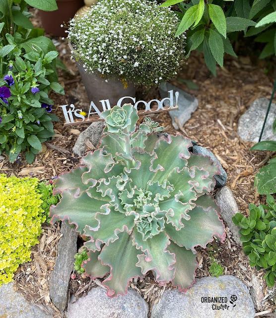 Photo of a ruffled Echeverias succulent in the garden