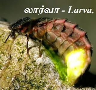 firefly - larva