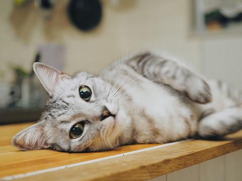 キリッとしたイケメン顔のサバトラ猫