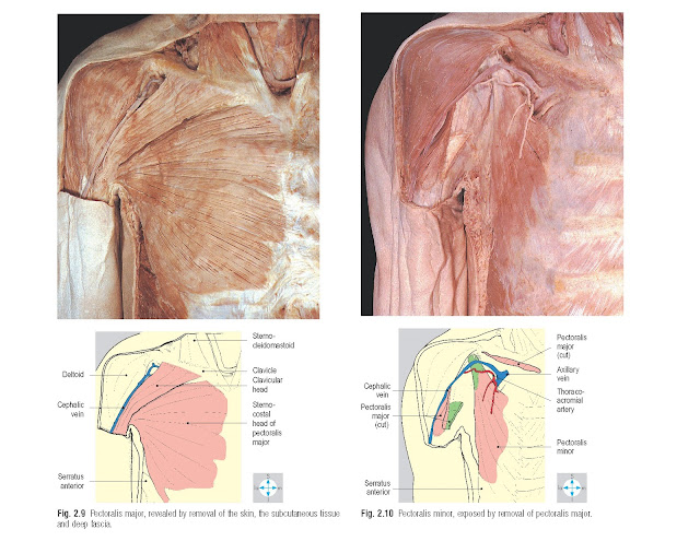 Pectoralis major, revealed by removal of the skin, the subcutaneous tissue and deep fascia. Pectoralis minor, exposed by removal of pectoralis major.