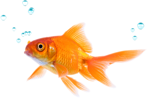 how to play against the fish who doesn t fold anything Animated Goldfish Goldfish Fun