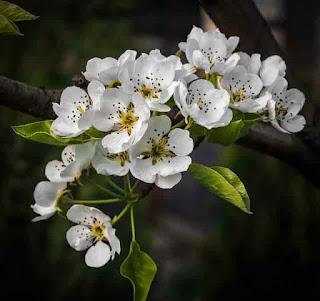 άνθη αχλαδιάς