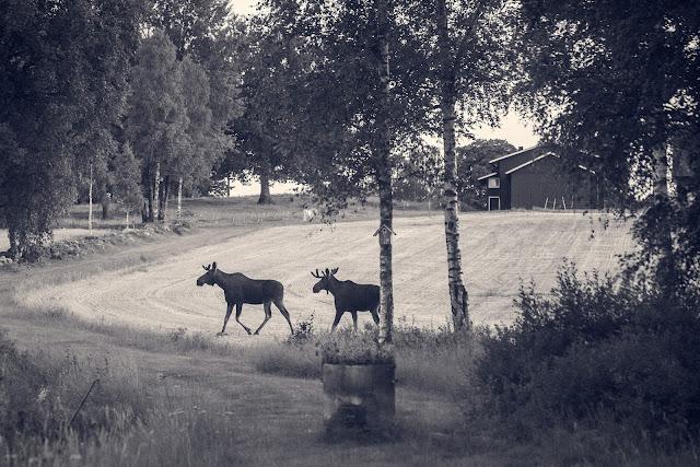 Två unga älgtjurar och en häst