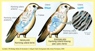 cara kerja organ pernapasan pada burung www.simplenews.me