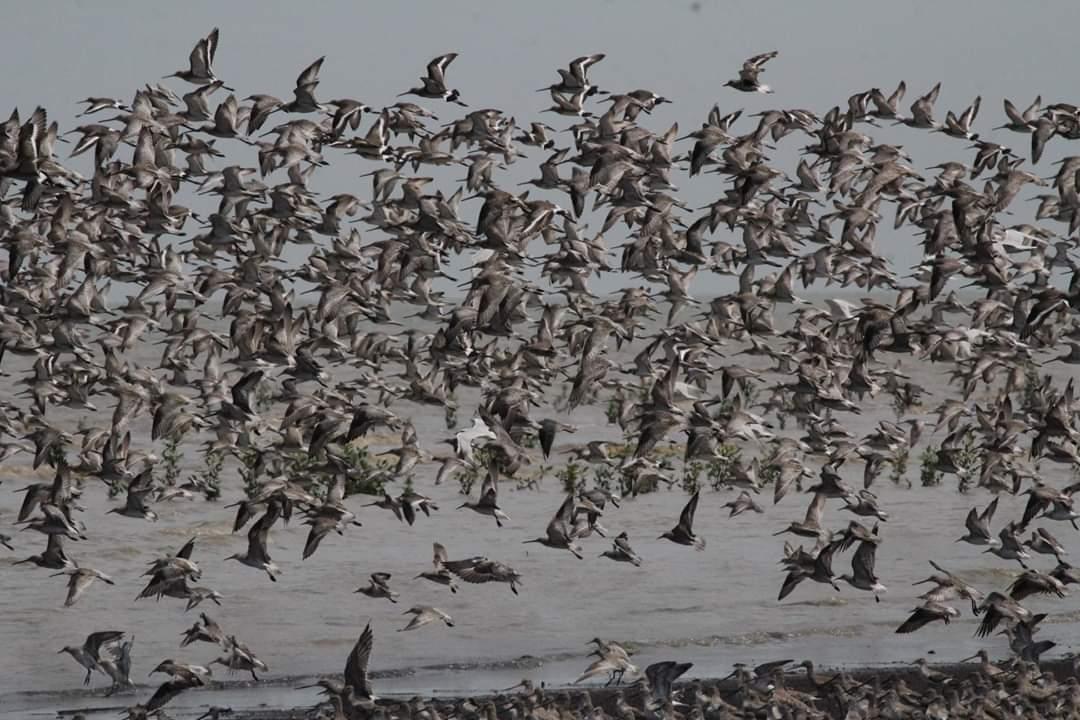 Akhir April Kepulangan Burung Migran di Pantai Cemara Tanjabtim