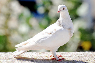 5 Lines on Pigeon in Hindi