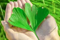 Ginkgo Biloba é uma erva bem conhecida