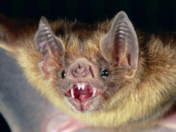 الخفاش