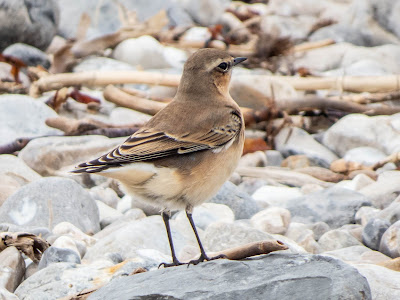 Wheatear at Lyme Regis © Roger Boswell.