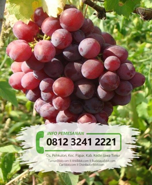 Jual Bibit Buah Anggur Red Prince