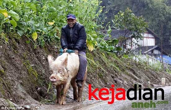 Pria Cina Tua Menunggangi Babi Seperti Kuda Di Jalan Raya