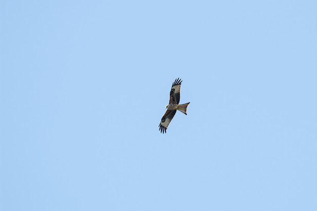 Red Kite Gaining height