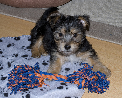 West Highland Yorkshire Terrier Cross Harry  the YorkshireWest