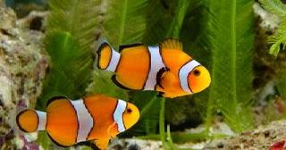 Bagaimana Cara Agar Ikan Peliharaan Mau Makan Ikan Pelet Diskusi Perikanan Dictio Community