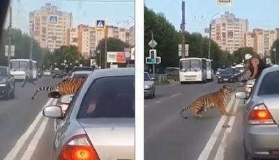Harimau kabur dari pemiliknya