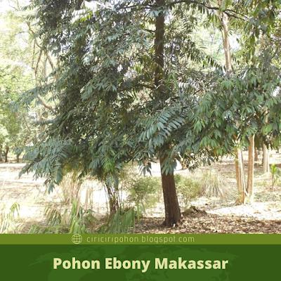 Ciri Ciri Pohon Ebony Makassar