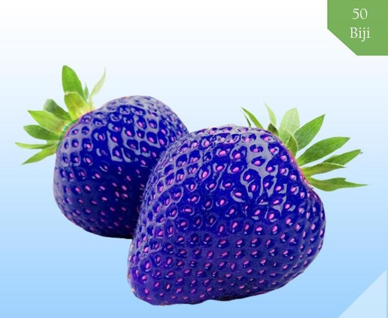 Benih Bibit Biji Buah Blue Strawberry Biru Import isi 50 Pcs Bau-Bau
