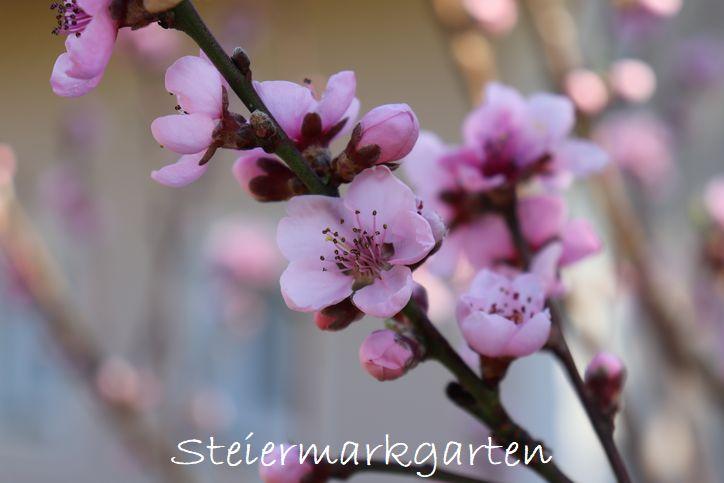 Pfirsichblüten-Steiermarkgarten