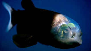 Barreleye Fish With Transparent Head: