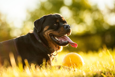 Rottweiler Price, Cost, Money