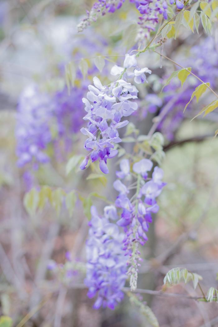 wisteria flower