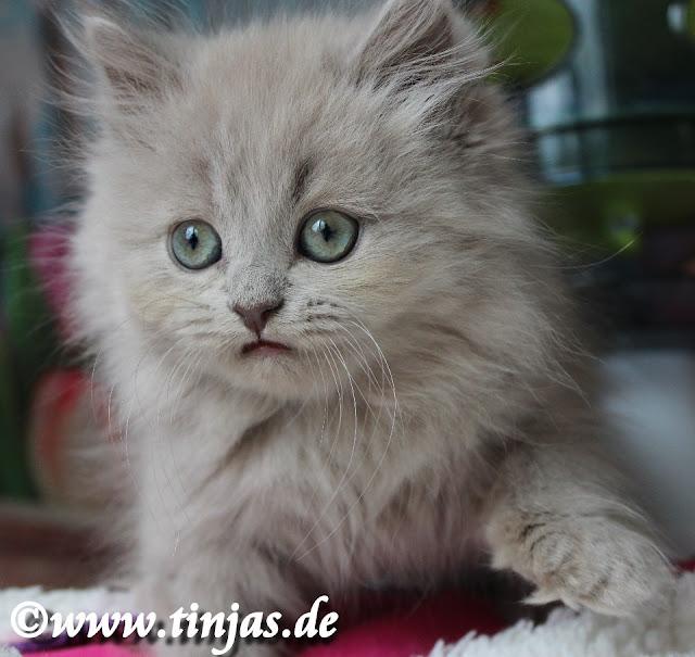 BLH Kitten lilac non agouti