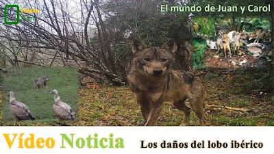 http://juanpuchefernandez.blogspot.com.es/2016/05/danos-del-lobo-iberico.html