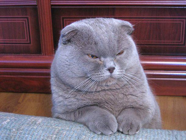 القطة الاسكتلندية scottish-fold اغرب انواع القطط في العالم