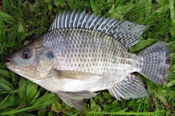 ialah jenis ikan fresh water atau air tawar Ikan Nila Atau Tilapia