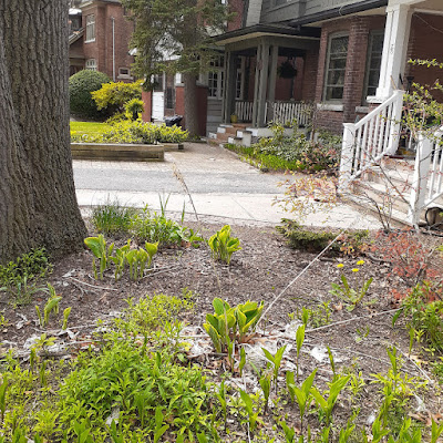 Toronto High Park North New Front Yard Makeover Before by Paul Jung Gardening Services--a Toronto Gardening Company
