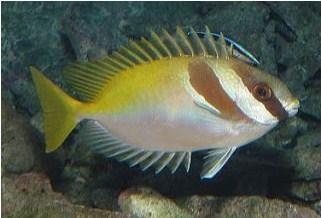 Signus virgatus - Jenis Jenis Ikan Baronang