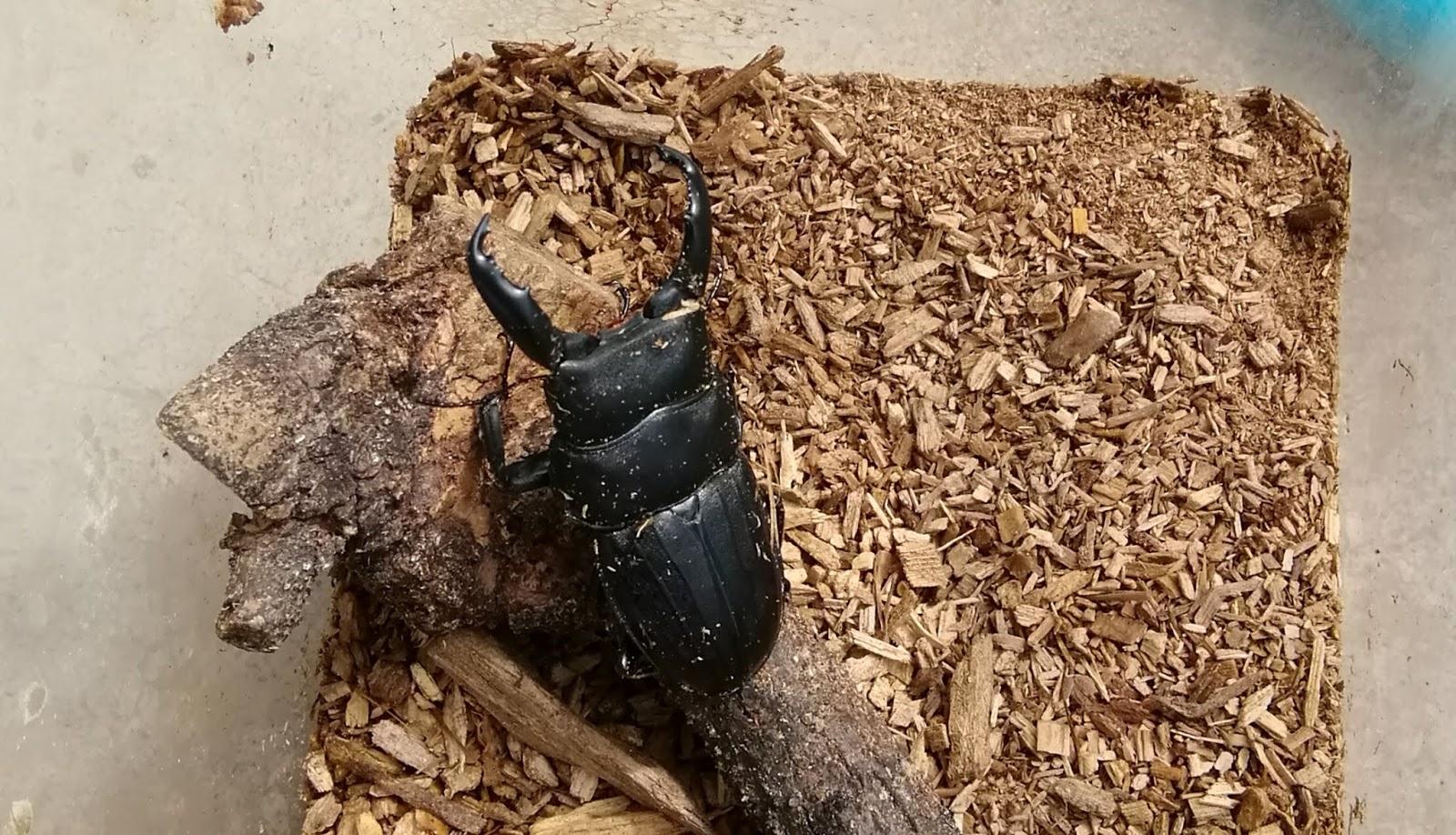 動か ない 幼虫 カブトムシ