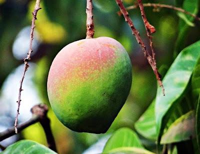 Cultura da mangueira (Mangifera indica)
