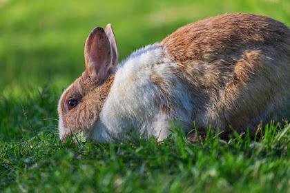 Tips Merawat Kelinci yang Benar Agar Sehat dan tidak Cepat Mati