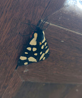 A lovely moth on the back door