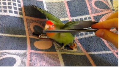 Lovebird Galak