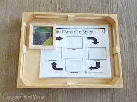 Life Cycle of a Spider Activity and Printable