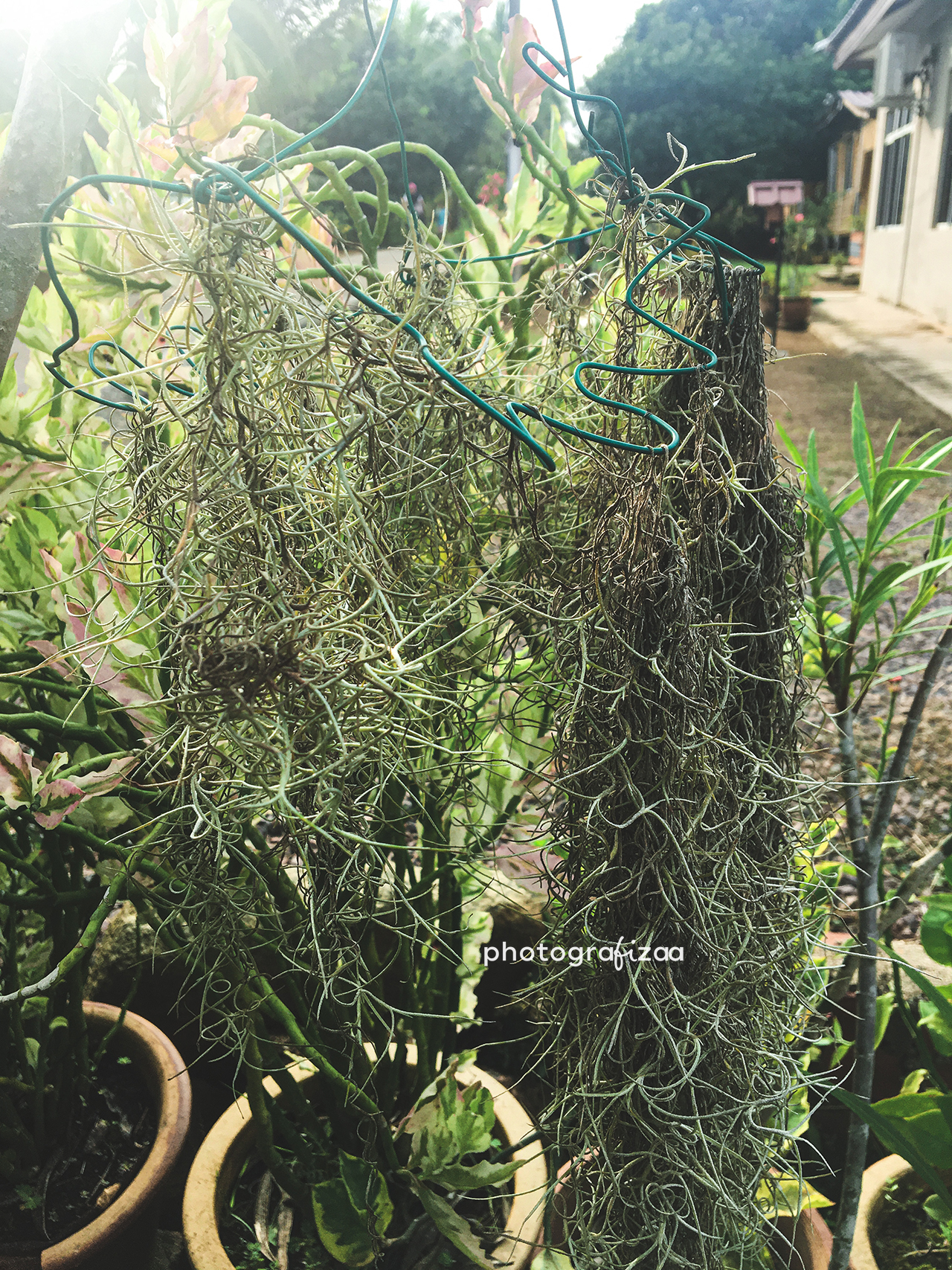 pokok-angin-spanish-moss-air-plant
